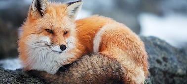 Четкое изображение лисы в 4K