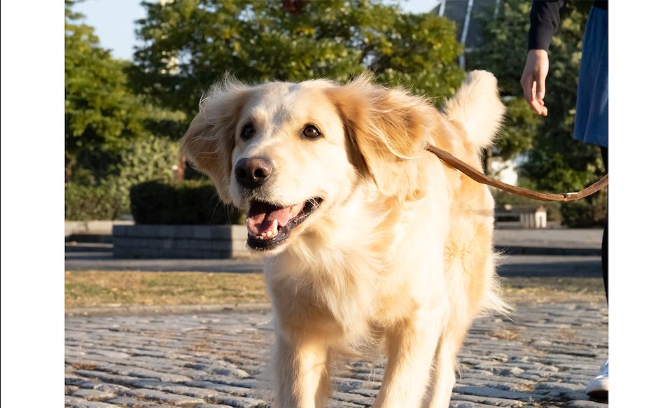 Снимок собаки на поводке на открытом воздухе с размытым фоном, полученным с помощью эффекта боке