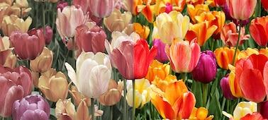 Изображение, демонстрирующее реалистичность цветов, полученную благодаря технологии XR Triluminos PRO™