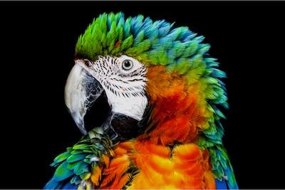 Попугай на обычном OLED-экране, детальный вид