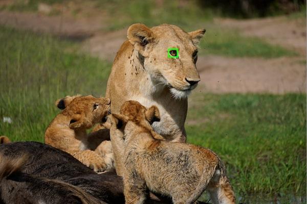 АФ по глазам в реальном времени для животных